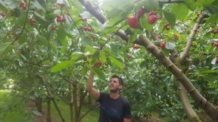 Kadin amongst the cherries