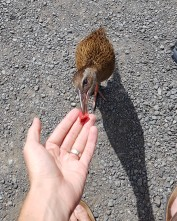 Sharing some of our plum with the friendly Weka!