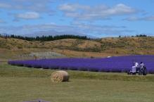 Lavendar Farm