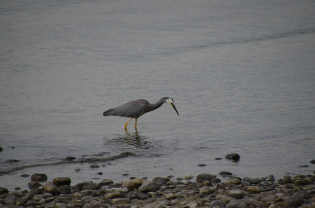 White-faced heron fishing in the lake