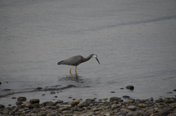 White-faced heron fishing in the lake