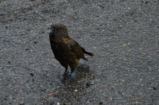 Cheeky Kea - Looking a bit wet!