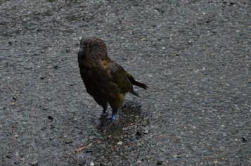 Cheeky Kea - Looking a bit wet!