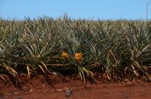 Pineapple Fields