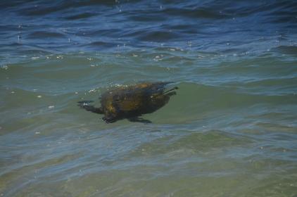 Surfy Turtle