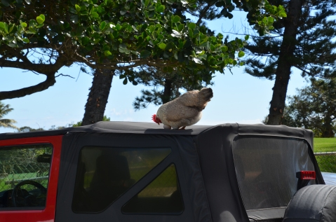 Oh look - chicken on the car...