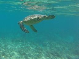 Kadin's Turtle