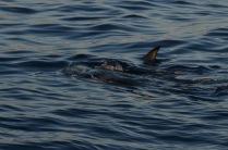 Manta ray on the surface