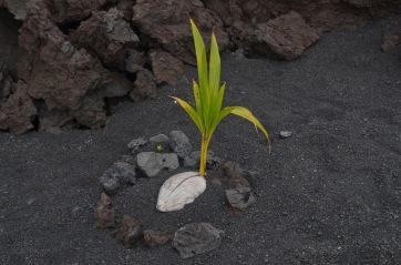 Locals plantes the coconut trees