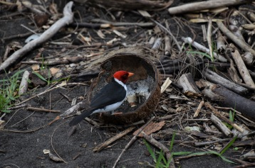 Cardinal eating a coconut
