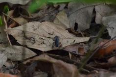 Talamanca Poison Dart Frog