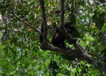Monkey in the treetops