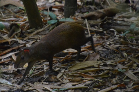 Agouti on the road on the way to the refuge centre.