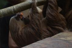 Sloth having breakfast
