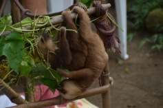 More baby sloths!