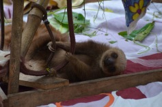 Two-toed sloths