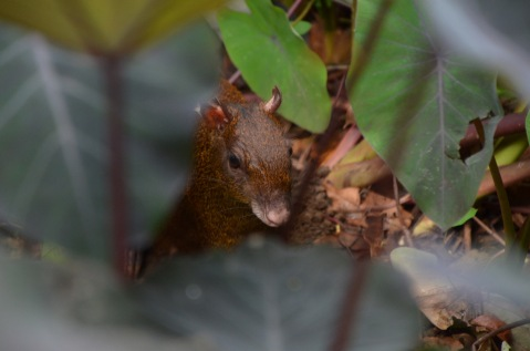 Another Agouti