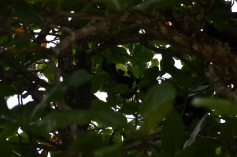 Monkey troop in the trees
