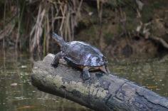 Log turtle
