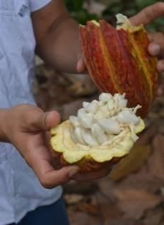Cacao fruit - so sweet!