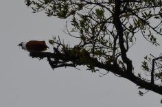 Noisy bird - hoped it was a Quetzal. (Actually: Three Wattled Bell Bird)