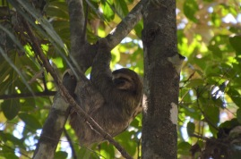 Sloth in the tree