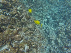 Coral and Yellow Tang