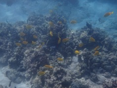 School of Yellow Tang