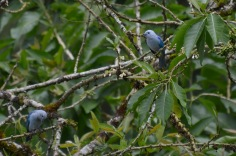 Blue birds at our chocolate factory