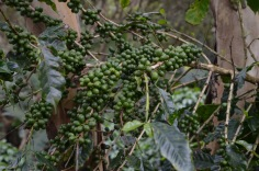 Lots of coffee beans - not ready yet!