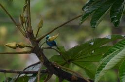 Blue bird hiding