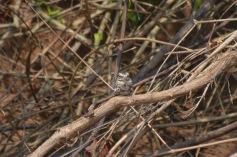 Nightjar - Camoflaged bird