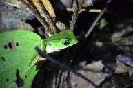 Kadin's Tree Frog