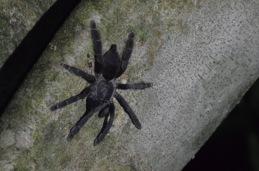 Not-so-cute tarantula