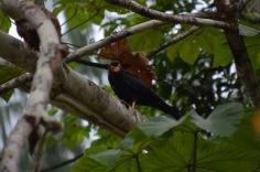 Caracara - Really loud bird