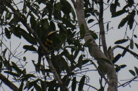 Many Banded Aracari (toucan)