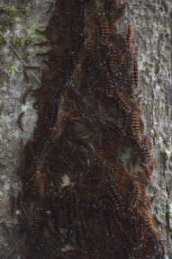Caterpillars on a tree trunk