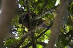 Red titi monkey and baby