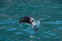 Diving Cormorant