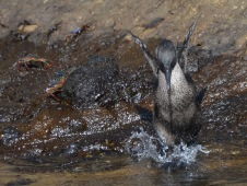 Cormorant slipping into the water