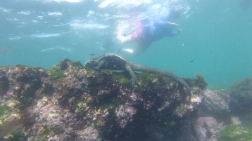 Gemma swimming away from the iguana