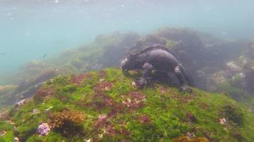 Marine Iguana feeding