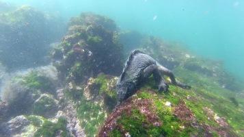 Marine Iguana under water