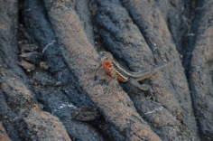 Lava Lizard - Fretting for his life