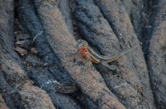 Lava Lizard - Fretting for his life