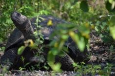 Giant tortoise hidden in the shade
