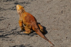 Land iguana walking in the sun