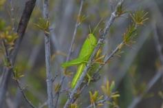 Bright locust