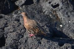 Galapagos Pigeon
