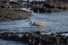 Galapagos Great Blue Heron